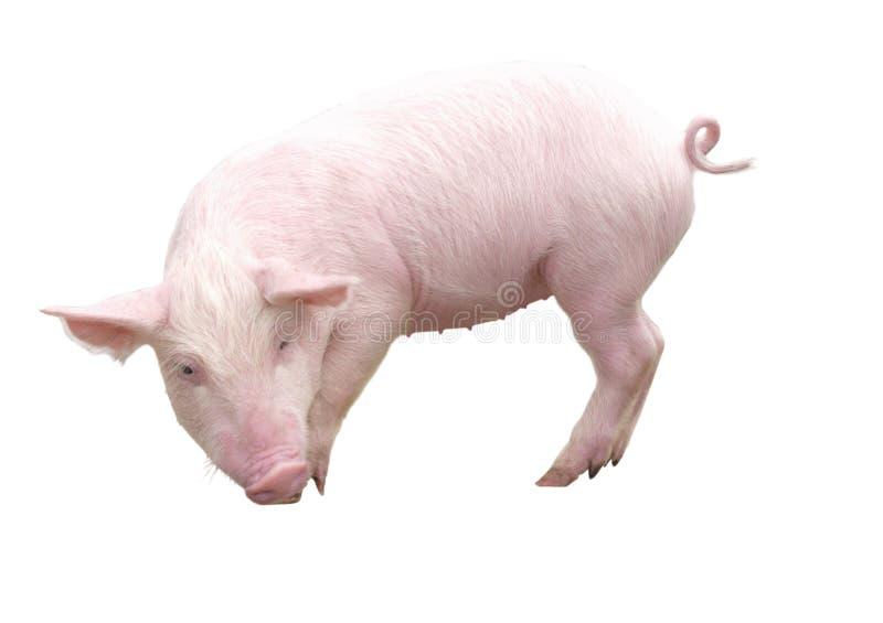 Lantgårddjur - svin som föreställs på en vit bakgrund - bild arkivfoton