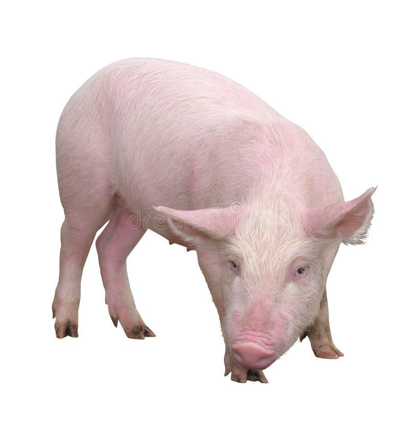 Lantgårddjur - svin som föreställs på en vit bakgrund - bild royaltyfria bilder