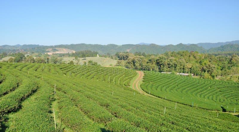 lantgården ai Chiang Rai, Thailand December 2 Choui Fong för grönt te royaltyfri fotografi