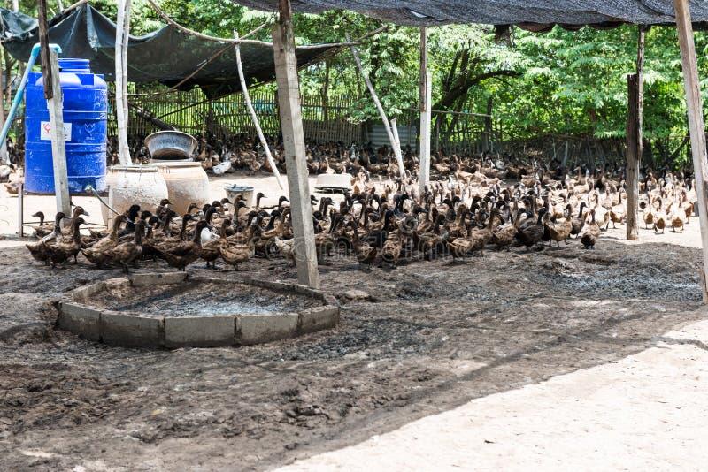 Lantgården duckar i byn royaltyfri fotografi