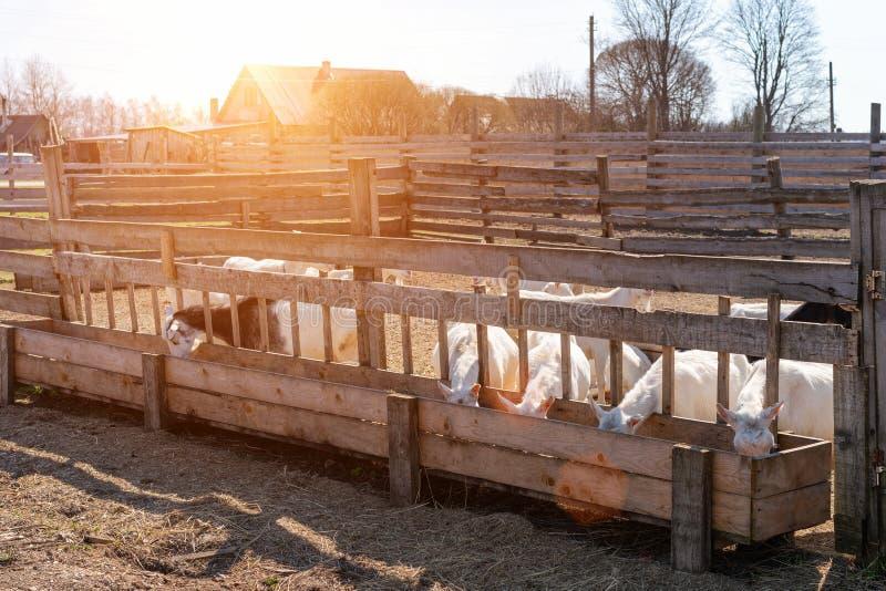 Lantgården getter äter hö på en solig dag royaltyfri fotografi