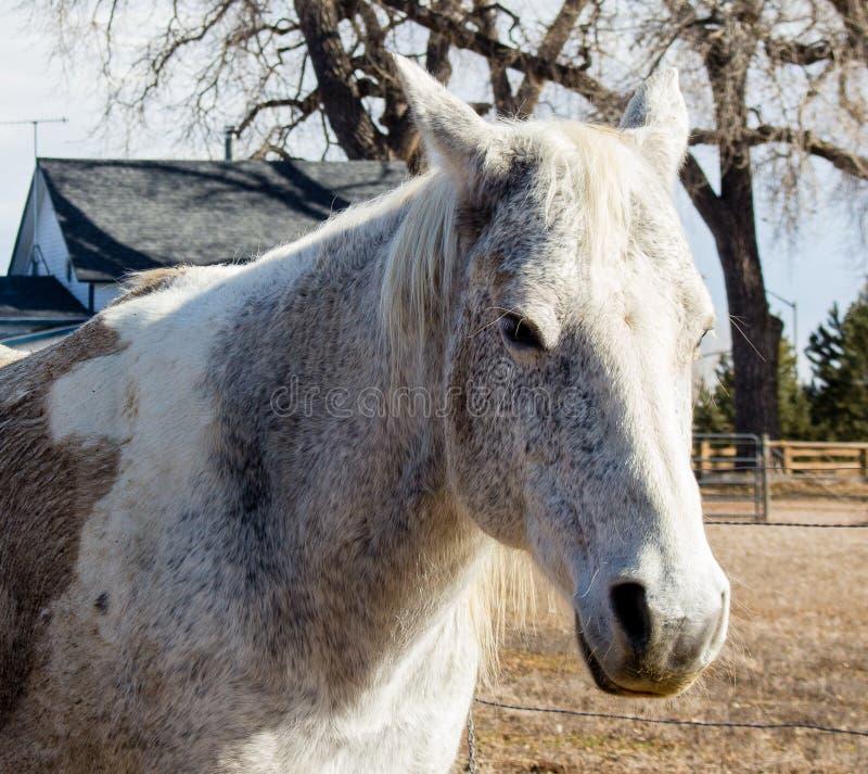 Lantgårdhäst i Ft Collins Colorado arkivbild
