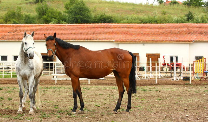 lantgårdhästhästar royaltyfri foto