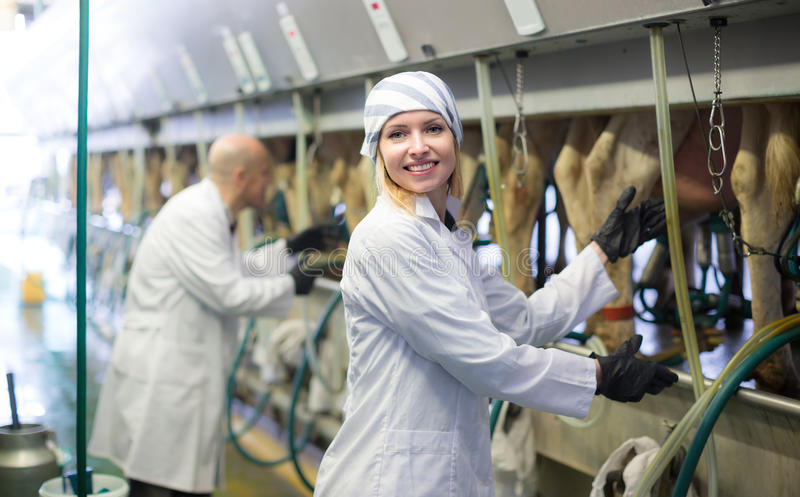 Lantgårdpersonal med kon som mjölkar maskiner royaltyfri fotografi