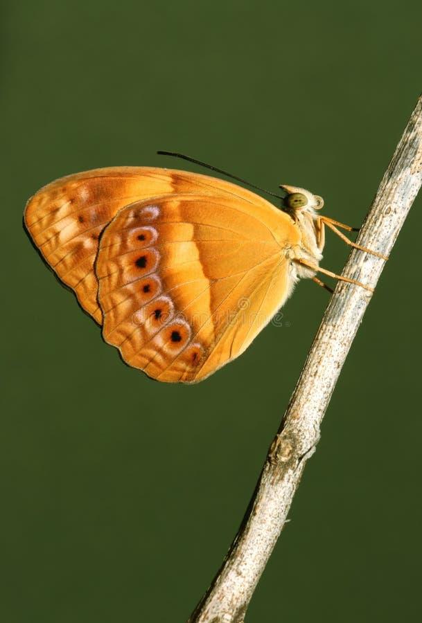 lantlig australiensisk fjäril arkivbild