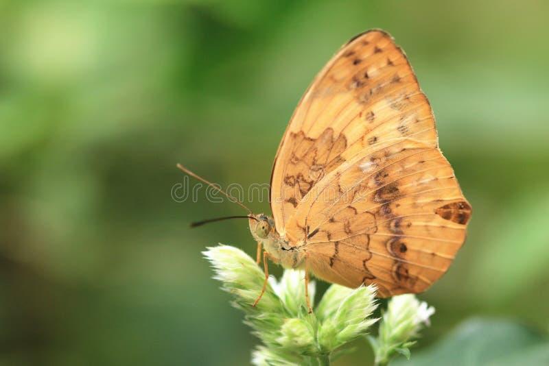 Lantlig fjäril och blommor royaltyfria bilder