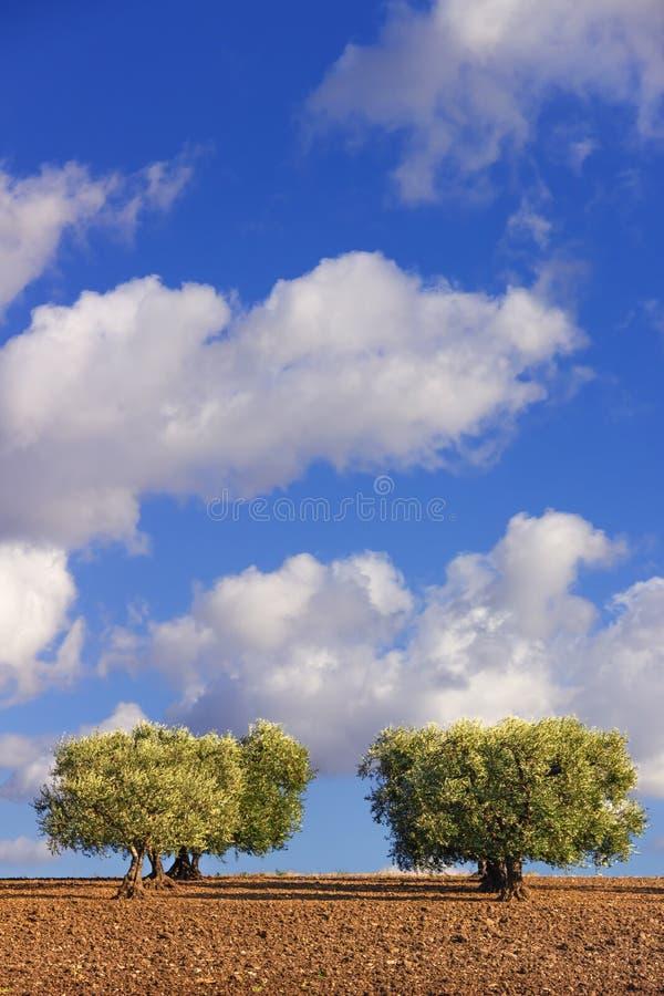 LANTLIG LANDSKAPHÖST Mellan Apulia och Basilicata: olivträd i vinden - Italien-Italien royaltyfri bild
