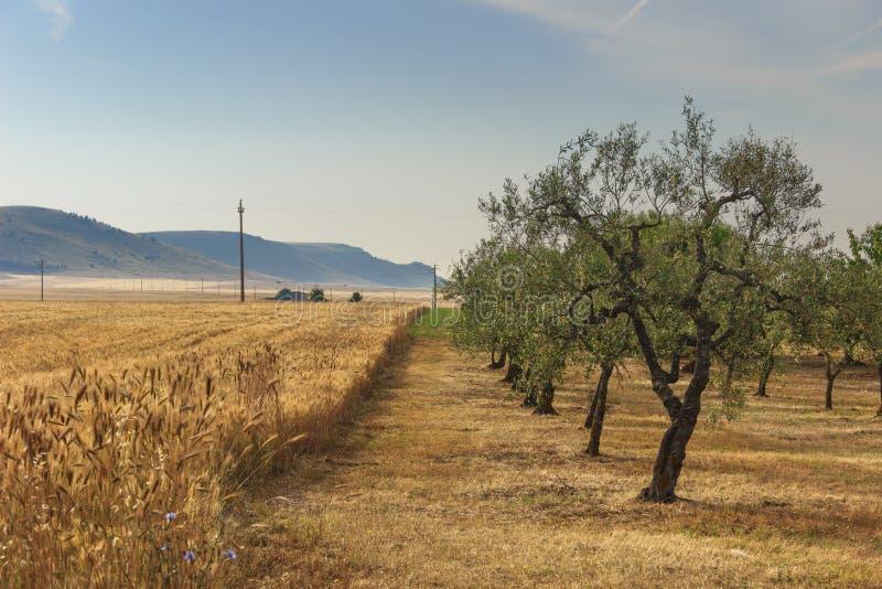 LANTLIG LANDSKAPSOMMAR Bergig contryside med cornfielden och den olivgröna dungen royaltyfria foton