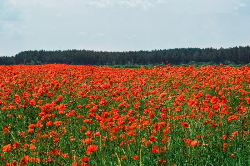 lantlig liggande Ett fält av ljusa röda blomma vallmo Himmel på bakgrund royaltyfria bilder