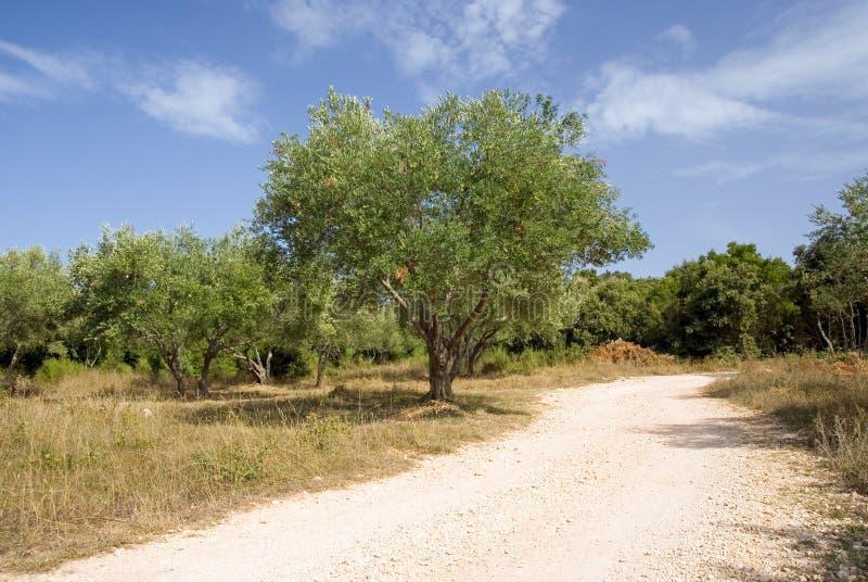 lantlig tree för olive väg arkivfoton