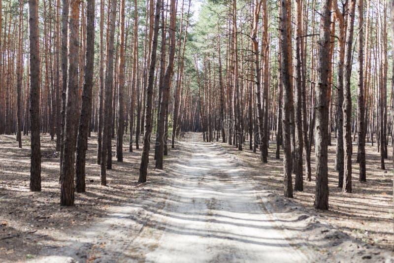 Lantlig väg för pinjeskog royaltyfria bilder
