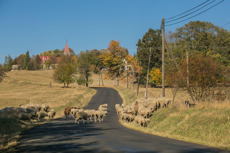 Lantligt höstlandskap och en flock av får som korsar vägen arkivfoton