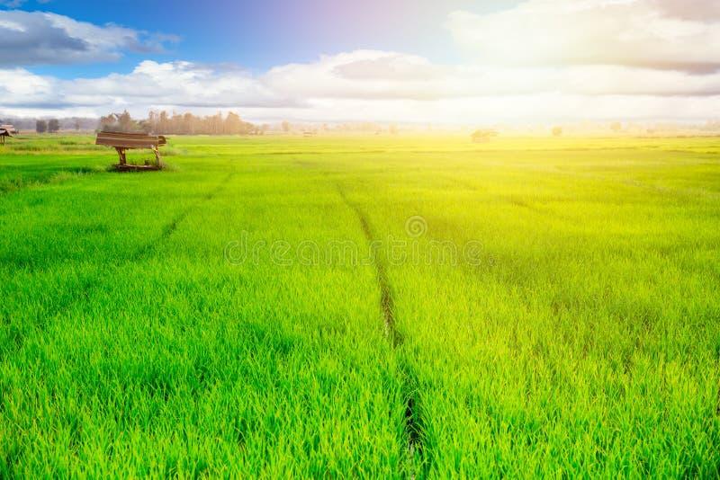 Lantligt jordbruk för bygd För risgräs för äng grönt fält royaltyfria foton