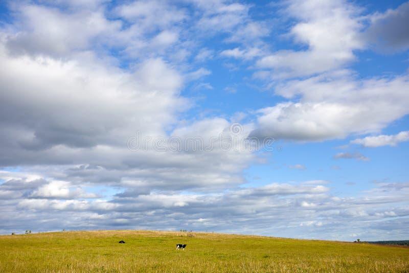 Lantligt landskap för sommar med kor i ängen bluen clouds skyen fotografering för bildbyråer