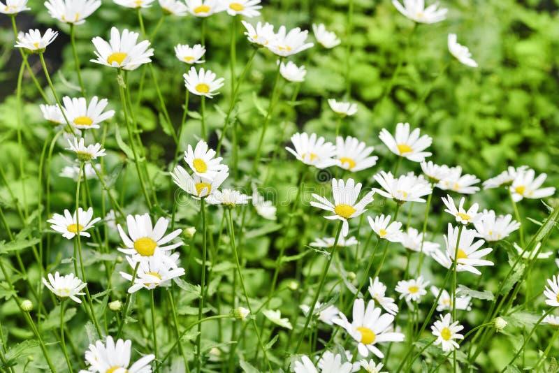 Lantligt landskap p? en solig dag i sommar Mycket härliga vita tusenskönor royaltyfria bilder