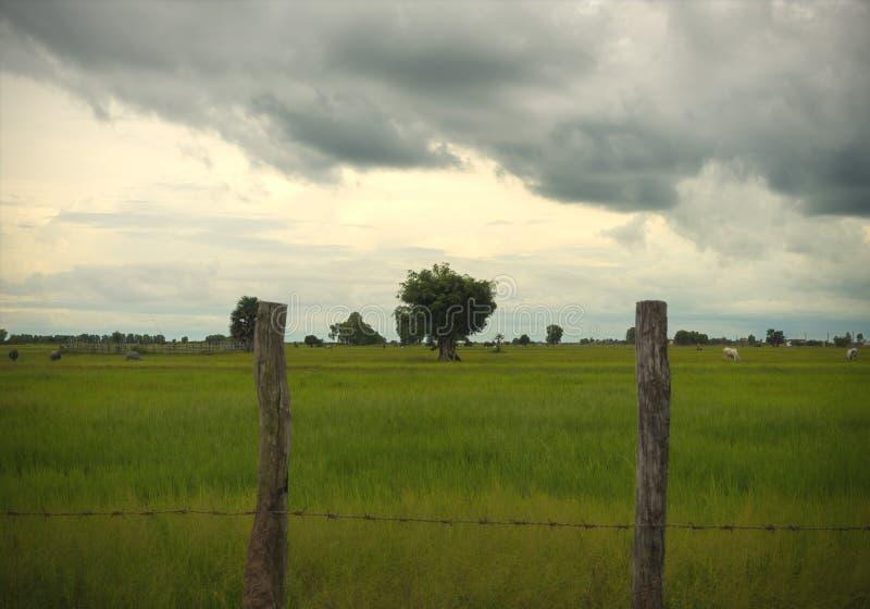 Lantligt lantgårdfält och ensamt träd i Siem Reap Cambodja royaltyfri foto