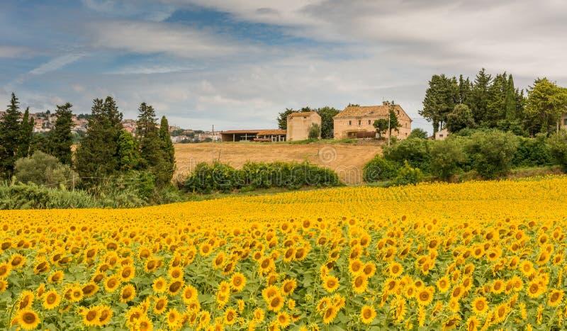 Lantligt sommarlandskap med solrosfält och olivfält nära Porto Recanati i den Marche regionen, Italien royaltyfri foto