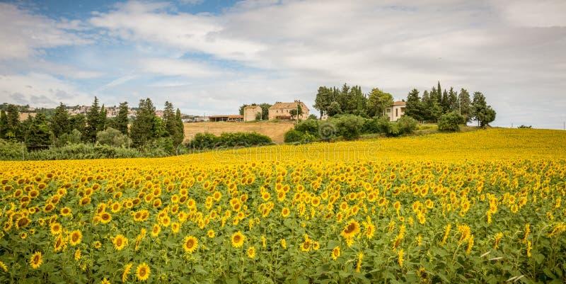 Lantligt sommarlandskap med solrosfält och olivfält nära Porto Recanati i den Marche regionen, Italien royaltyfria foton