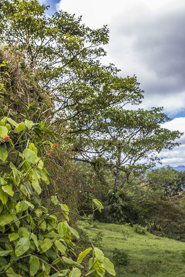 Lants and their own habitat at Peñas Blancas Massif natural reserve, NicaraguaP. Plants and their own habitat at Peñas Blancas Massif natural reserve royalty free stock photo