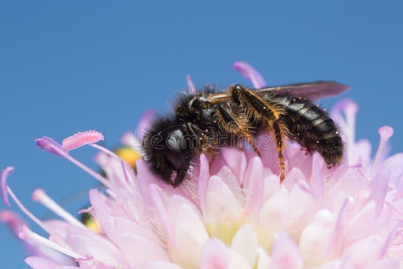 Lanudo-abeja grande masculina, banksianus de Panurgus en escabioso de campo fotografía de archivo libre de regalías