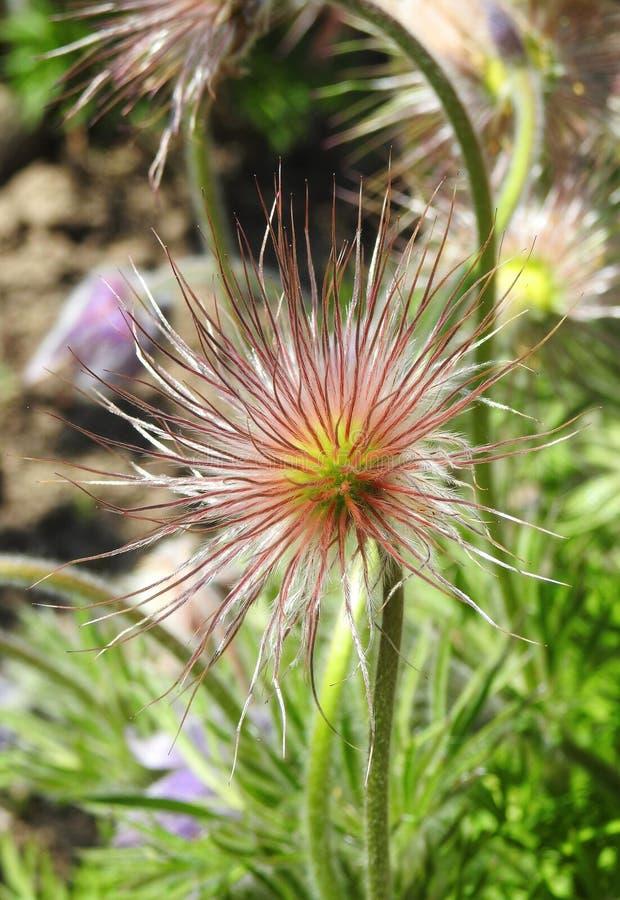 Lanugine del fiore dell'erica fotografie stock