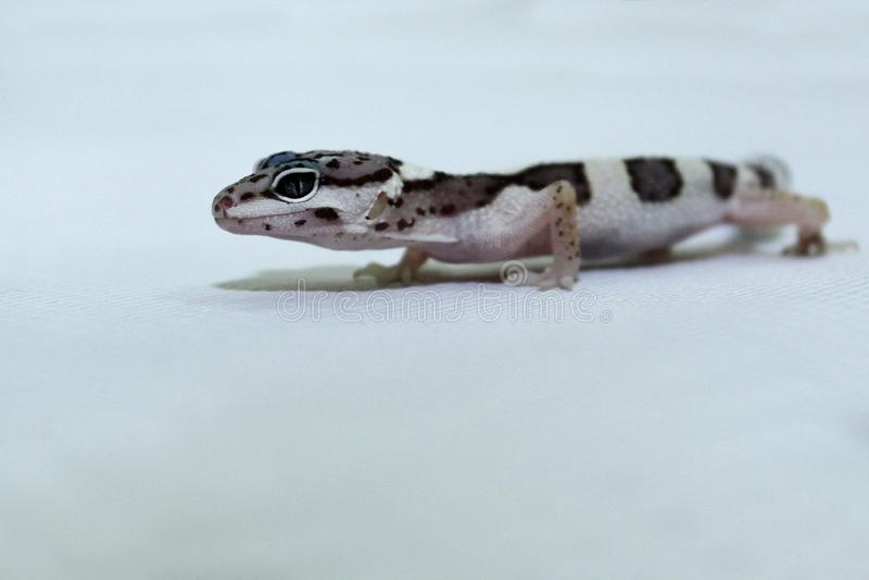 Lanzamiento ascendente cercano de la salamandra del leopardo imagen de archivo libre de regalías