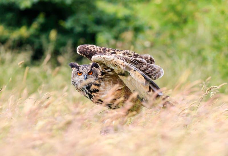 Lanzamiento de Eagle Owl fotografía de archivo