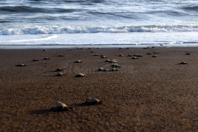 Lanzamiento de la tortuga imágenes de archivo libres de regalías