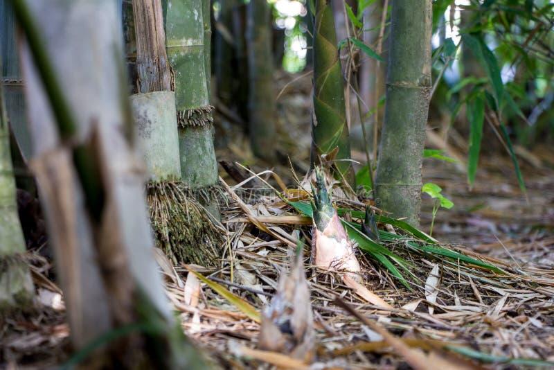 Lanzamiento del bambú en el chiangmai Tailandia imagen de archivo