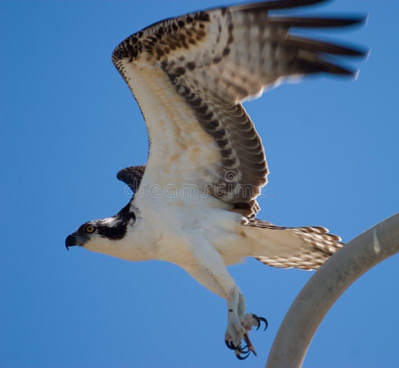 Lanzamiento del Osprey fotos de archivo