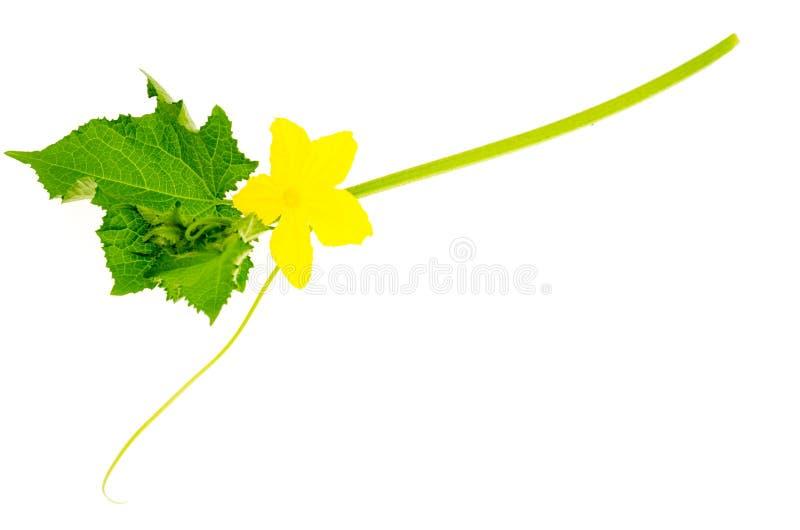 Lanzamiento del pepino con las hojas verdes y la flor amarilla fotos de archivo