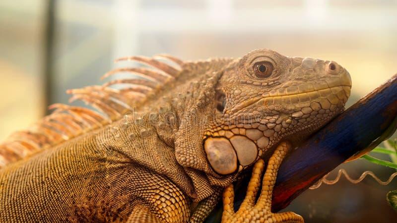Lanzamiento del primer de la cara de la iguana con el detalle de la textura de la piel imagenes de archivo