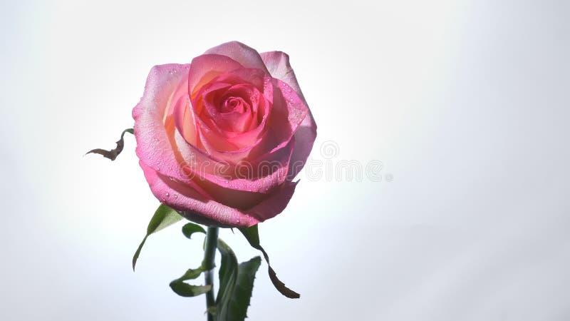 Lanzamiento del primer de la flor color de rosa rosada hermosa con el fondo aislado en blanco fotografía de archivo libre de regalías