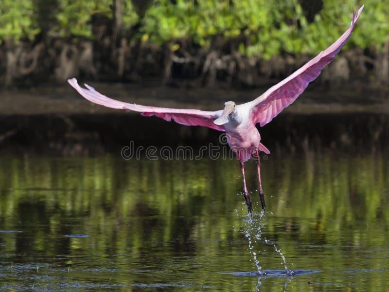 Lanzamiento del Spoonbill rosado fotografía de archivo libre de regalías