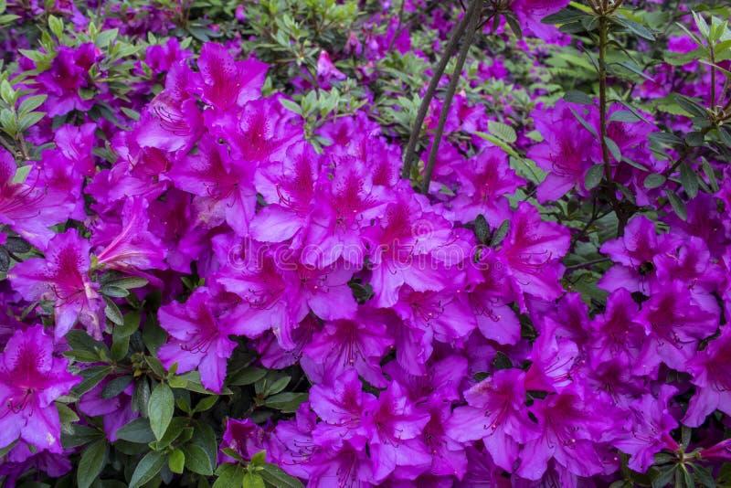 Lanzamiento indio de la flor de la azalea p?rpura Admitido el bosque fotos de archivo