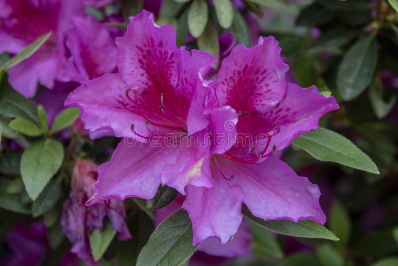 Lanzamiento indio de la flor de la azalea p?rpura Admitido el bosque foto de archivo libre de regalías
