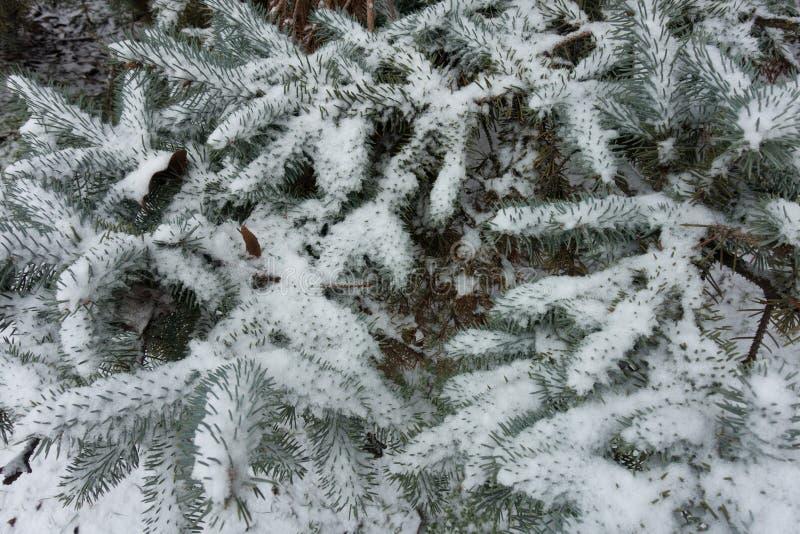 Lanzamientos de la picea azul cubiertos con nieve imágenes de archivo libres de regalías
