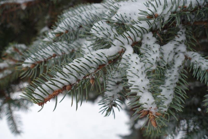 Lanzamientos de la picea cubiertos con nieve imagen de archivo