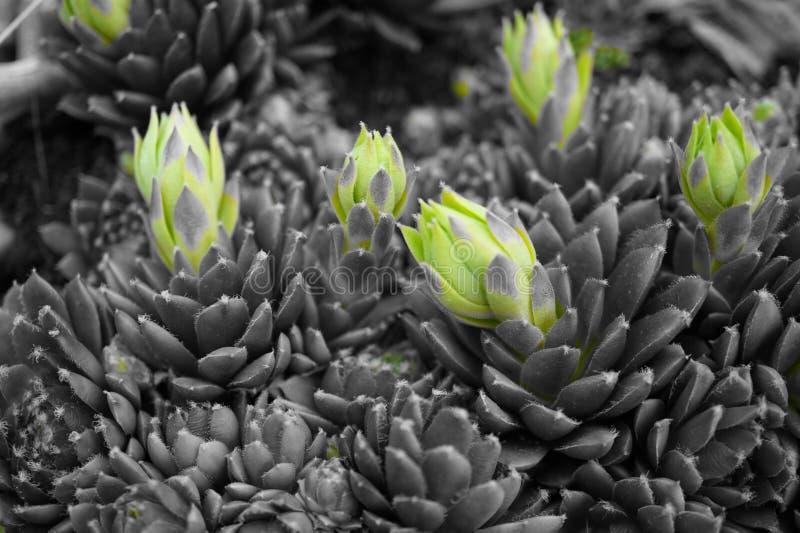 Lanzamientos de la planta en verde y el fondo en blanco negro fotografía de archivo