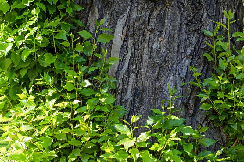 Lanzamientos de los jóvenes en la corteza de un árbol imagen de archivo