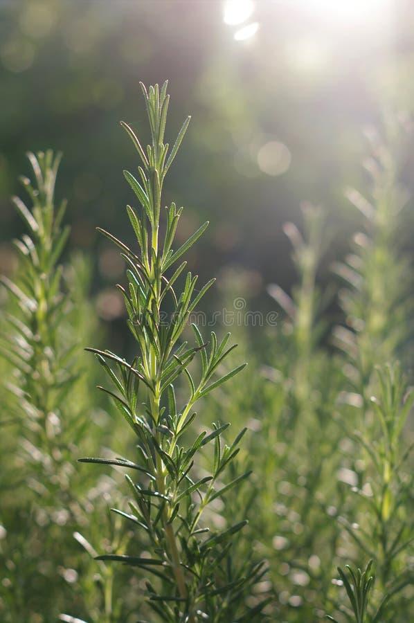 Lanzamientos de Rosemary en la luz del sol foto de archivo