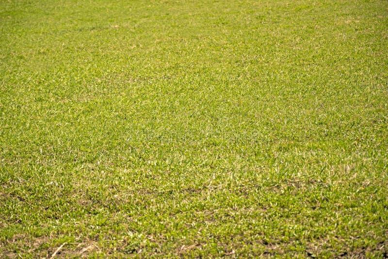 Lanzamientos de una hierba verde joven foto de archivo libre de regalías