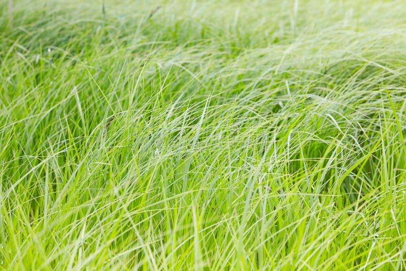 Lanzamientos de una hierba verde joven en un fondo borroso en el parque imagen de archivo libre de regalías