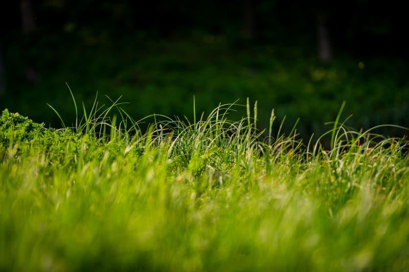 Lanzamientos de una hierba verde joven en un fondo borroso oscuro foto de archivo libre de regalías