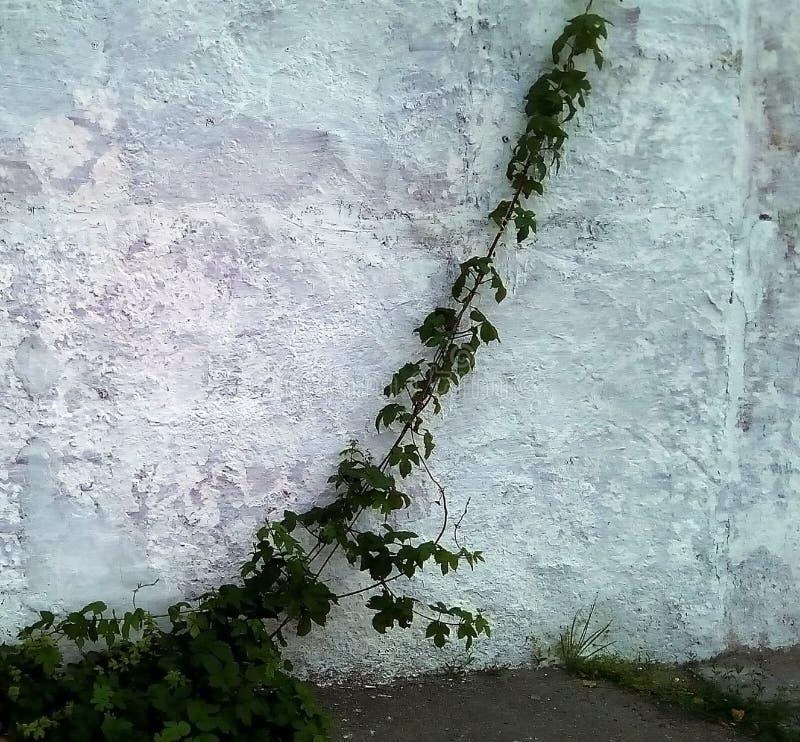 Lanzamientos de uvas salvajes contra una pared pintada ligera imagen de archivo