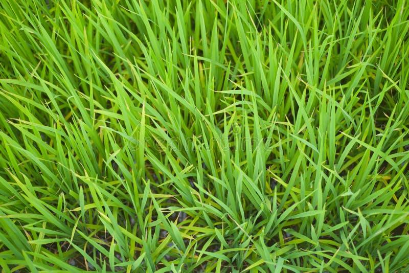 Lanzamientos del arroz en primavera temprana foto de archivo libre de regalías