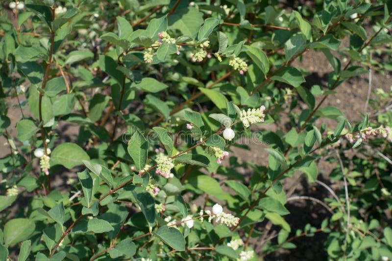 Lanzamientos del snowberry con las flores y las bayas imagenes de archivo