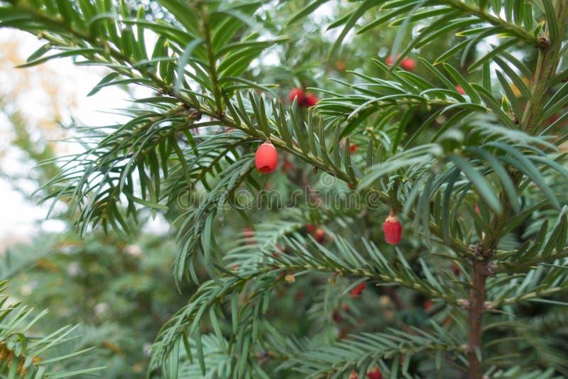 Lanzamientos del tejo con las hojas verdes y las bayas rojas foto de archivo libre de regalías