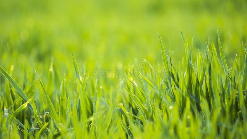 Lanzamientos del trigo verde en el sol fotografía de archivo libre de regalías
