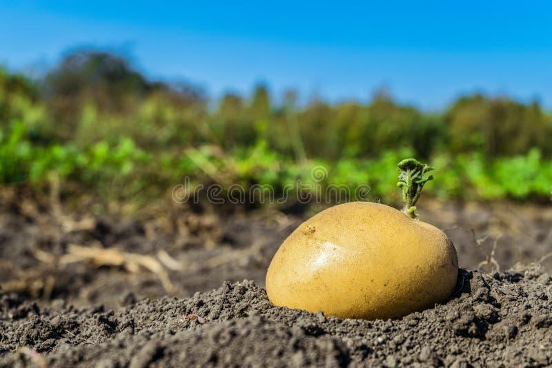 Lanzamientos del verde de la semilla de la patata en el huerto imagen de archivo